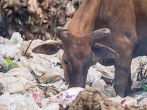 Cowfeed sul mucchio residuo fotografia stock libera da diritti