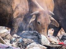 Cowfeed sul mucchio residuo fotografie stock libere da diritti