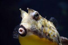 Cowfish лонгхорна Стоковое Изображение RF