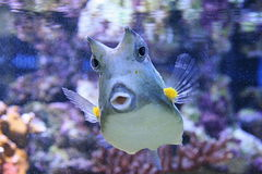 Cowfish. Colorful cowfish looking at you Royalty Free Stock Image