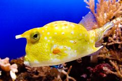 Cowfish Royalty Free Stock Images