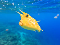 Cowfish de Longhorn Images stock