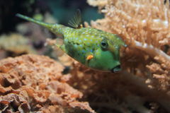 Cowfish de Longhorn Photos stock