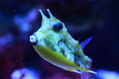 Cowfish de Longhorn Photographie stock