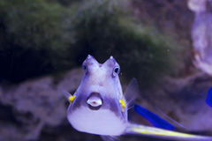 Cowfish de Longhorn Photographie stock libre de droits