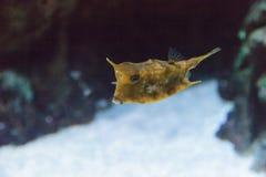 Cowfish de Longhorn, cornuta de Lactoria Image stock