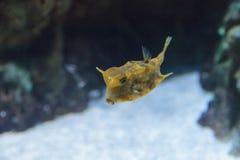 Cowfish de Longhorn, cornuta de Lactoria Photos libres de droits