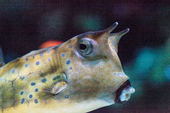Cowfish de Longhorn, cornuta de Lactoria Image libre de droits