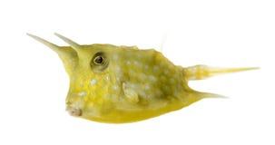 Cowfish de Longhorn, cornuta de Lactoria, d'isolement Image libre de droits