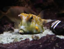 Cowfish de Longhorn, cornuta de Lactoria Photo stock
