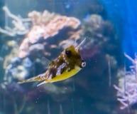 Cowfish de Longhorn ou boxfish horned um animal de estimação tropical engraçado dos peixes do aquário com bordos de beijo um retr fotografia de stock royalty free