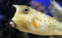 Cowfish de Longhorn ou cornuta à cornes de Lactoria de boxfish Photo libre de droits