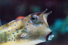 Cowfish del fonolocalizador de bocinas grandes, cornuta de Lactoria Imagen de archivo libre de regalías