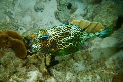Cowfish do favo de mel Foto de Stock Royalty Free