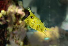 cowfish longhorn Obraz Royalty Free