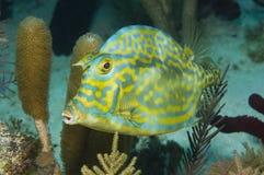 Cowfish scarabocchiato immagini stock libere da diritti