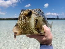 Cowfish Trunkfish of Boxfish van Andros, de Bahamas stock afbeelding
