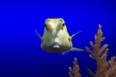 Cowfish under water Stock Photography