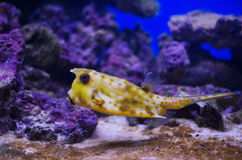 Cowfish w akwarium Fotografia Royalty Free