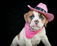 Cowgirl Bulldog Puppy Stock Images