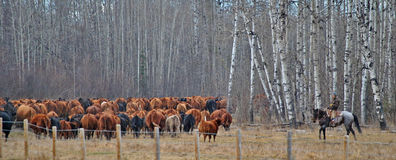 Cowgirl hearding cows in Alberta Canada. Farmer heading the cows into another pen just outside of Grande Prairie ,Alberta Stock Images