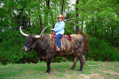 Cowgirls Ride Steers Stock Images