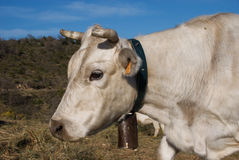 Cowhead branco com cowbell Fotografia de Stock Royalty Free