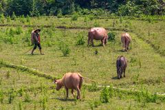 Cowherd in the green Laos. Muang Ngoi, Laos - April 10, 2018: Cowherd walking cows in the green countryside of Laos stock images