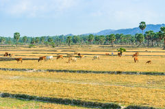 Cowherd on harvested field, Mekong Delta Stock Images