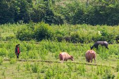 Cowherd in a remote area of Laos. Muang Ngoi, Laos - April 10, 2018: Cowherd walking cows in the green countryside of Laos stock photography