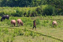 Cowherd surrounded by green Laos. Muang Ngoi, Laos - April 10, 2018: Cowherd walking cows in the green countryside of Laos royalty free stock image