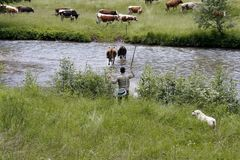 A cowherd wih cows in beautiful scenery in Romania. Bukovina, Romania - July 2014. A man herding cows near a mountain river stock image