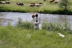 A cowherd wih cows in beautiful scenery in Romania. Bukovina, Romania - July 2014. A man herding cows near a mountain river Stock Image