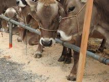 cowherds的会议 免版税库存照片