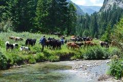 Cowherds com o gado na montanha Imagem de Stock Royalty Free