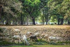 Cowherds no parque nacional de Sukhothai Imagens de Stock