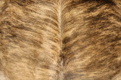 Cowhide Stock Photography