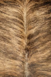 Cowhide. Tanned cowhide on display at a street fair Royalty Free Stock Photo