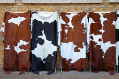 Cowhide. Four unique cowhide at display Stock Photo