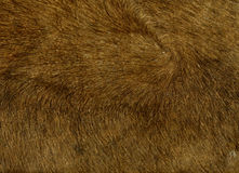 Cowhide. Image of cow hide with fur Royalty Free Stock Photography