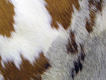 Cowhide. A closeup patch of cowhide Stock Image