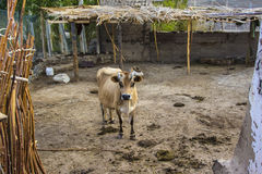 Cown in an animal Farm Royalty Free Stock Images