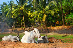 Cown on the beach in Goa Royalty Free Stock Image