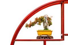 Cown van doornen, de bonsaiinstallatie van wolfsmelkmilii royalty-vrije stock fotografie
