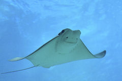 Cownose Ray Imagem de Stock Royalty Free