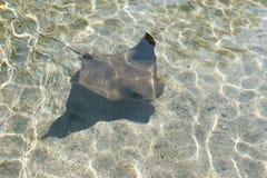 Cownose Ray på akvariet av det Stillahavs- i Long Beach arkivbilder