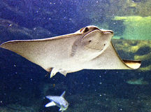 Cownose Ray Royalty Free Stock Image