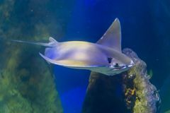 Cownose ray swimming in the water, family of the eagle rays, tropical fish from the atlantic ocean. A cownose ray swimming in the water, family of the eagle rays royalty free stock photos