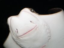 Cownose Ray- Underside Shot with Flash Stock Photo