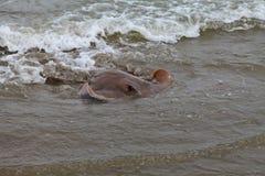 Cownose sticker den near kusten för strålen royaltyfria foton